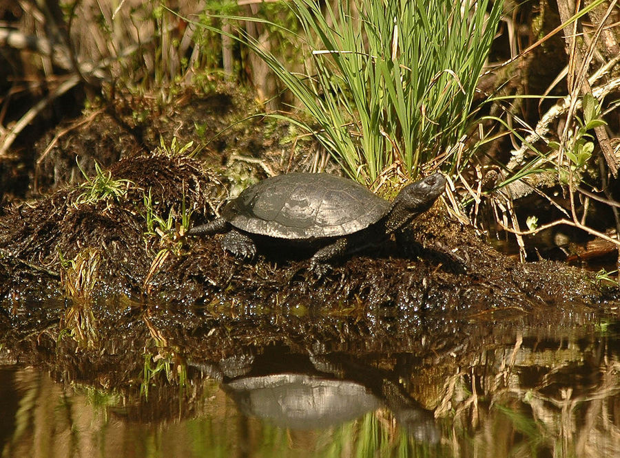 Polish Wild turtle
