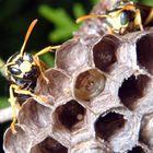 Polistes gallicus fa la guardia al nido