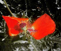 Pollen - es entstehen fix wieder neue Blüten,