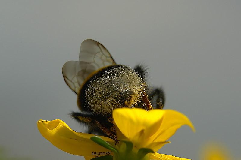 Pollen-Po