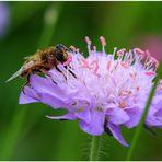 Pollen sammeln (ll) ....
