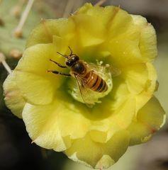 Pollen suche auf der Karibik Insel Aruba