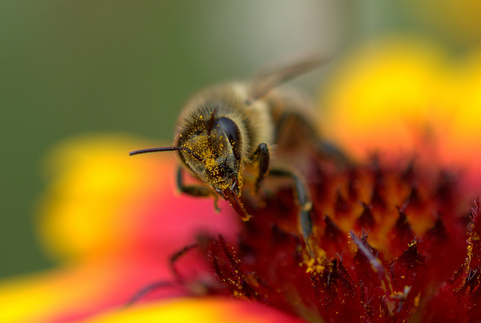 Pollenbiene