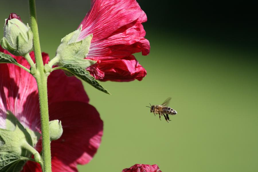 Pollenbomber