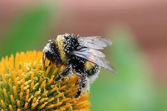 Pollenhummel