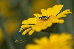 Pollenmahlzeit