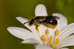 Pollenreichtum