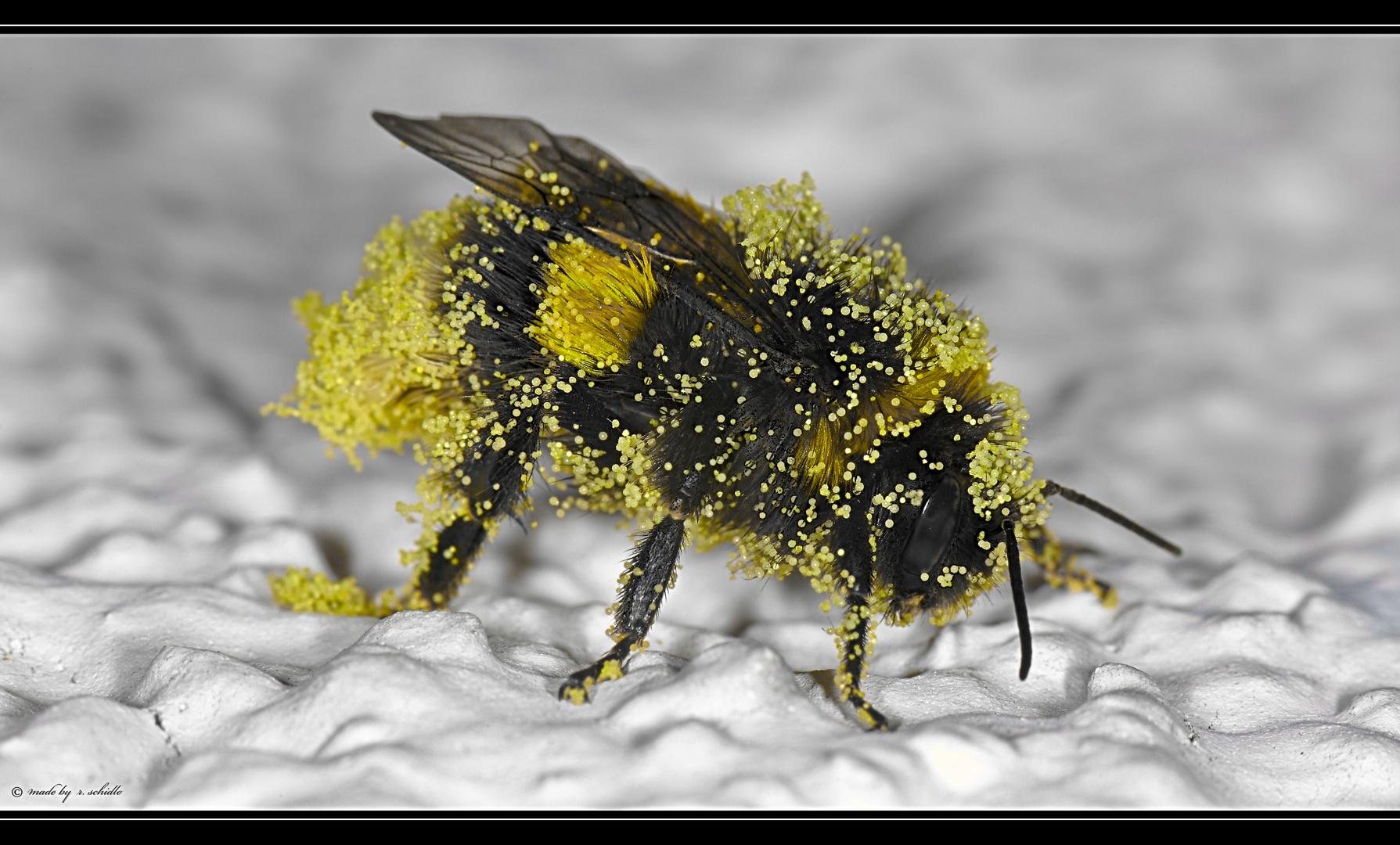 Pollensammler . .
