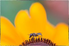Pollensammler unterwegs