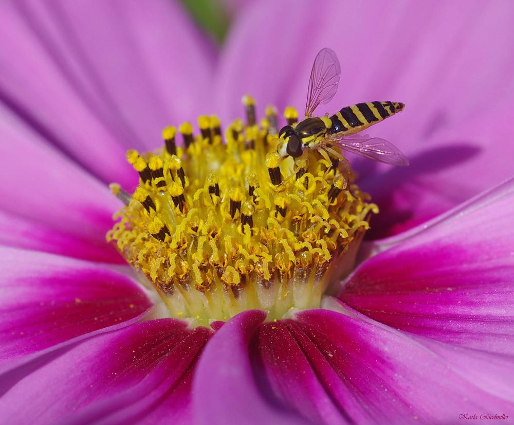 ...Pollentorte für Schwebfliegen....