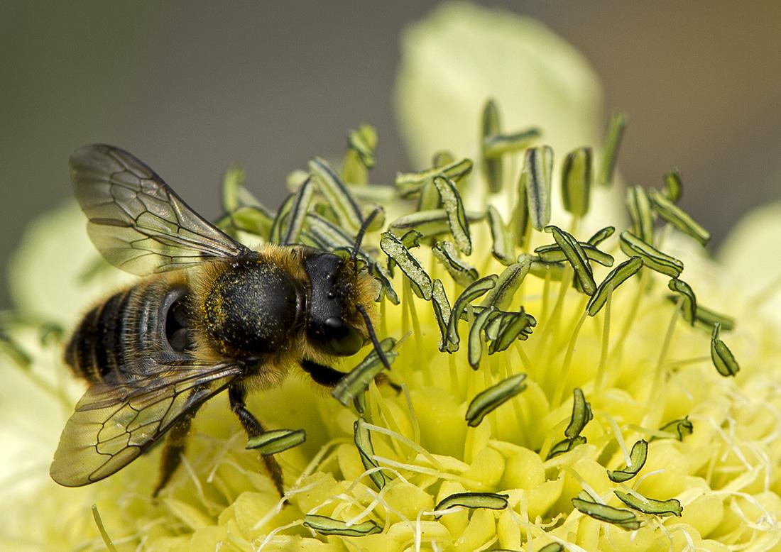Pollinating worker Bee