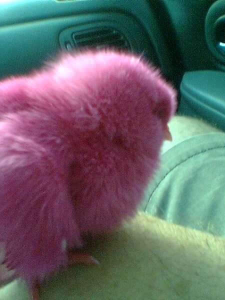 pollita rosadita