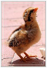 Pollito de gallina enana rayada bebiendo