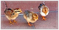Pollitos de gallina enana rayada (Brahma, Sussex, wyandote?)