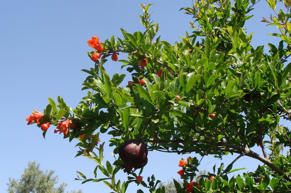 Pomelos / Grapefruit..01