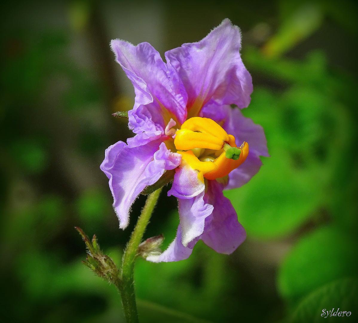 Pommes de terre en fleurs -2-
