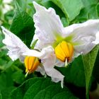 Pommes de terre en fleurs