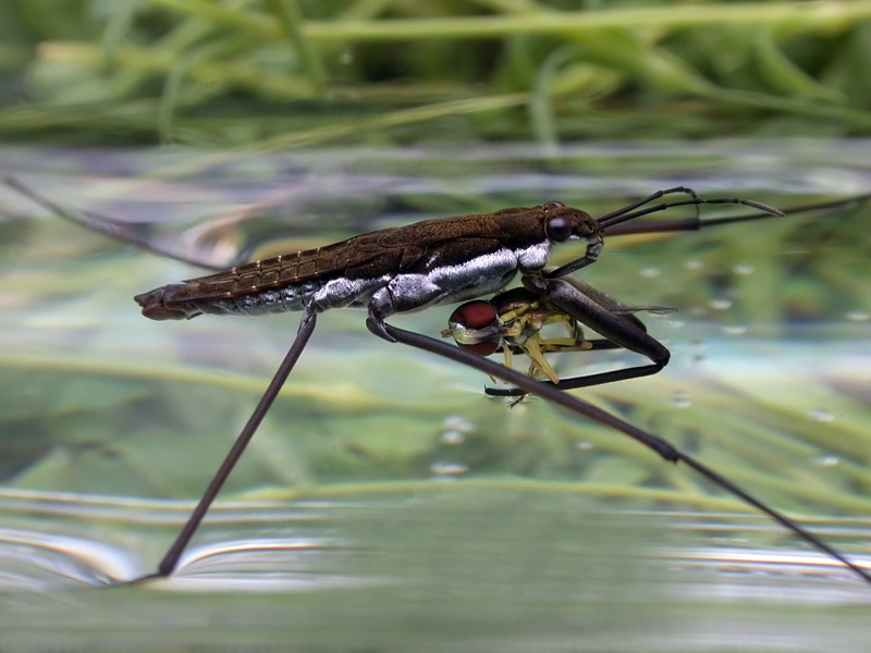 Pond Skater / Water Striders (Gerris sp.) feeding on a Hoverfly