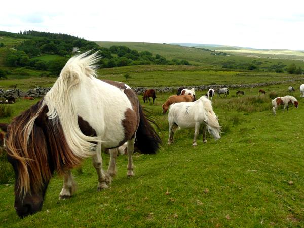 Ponies im Dartmoor