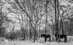 Ponys im Steinbruch 200