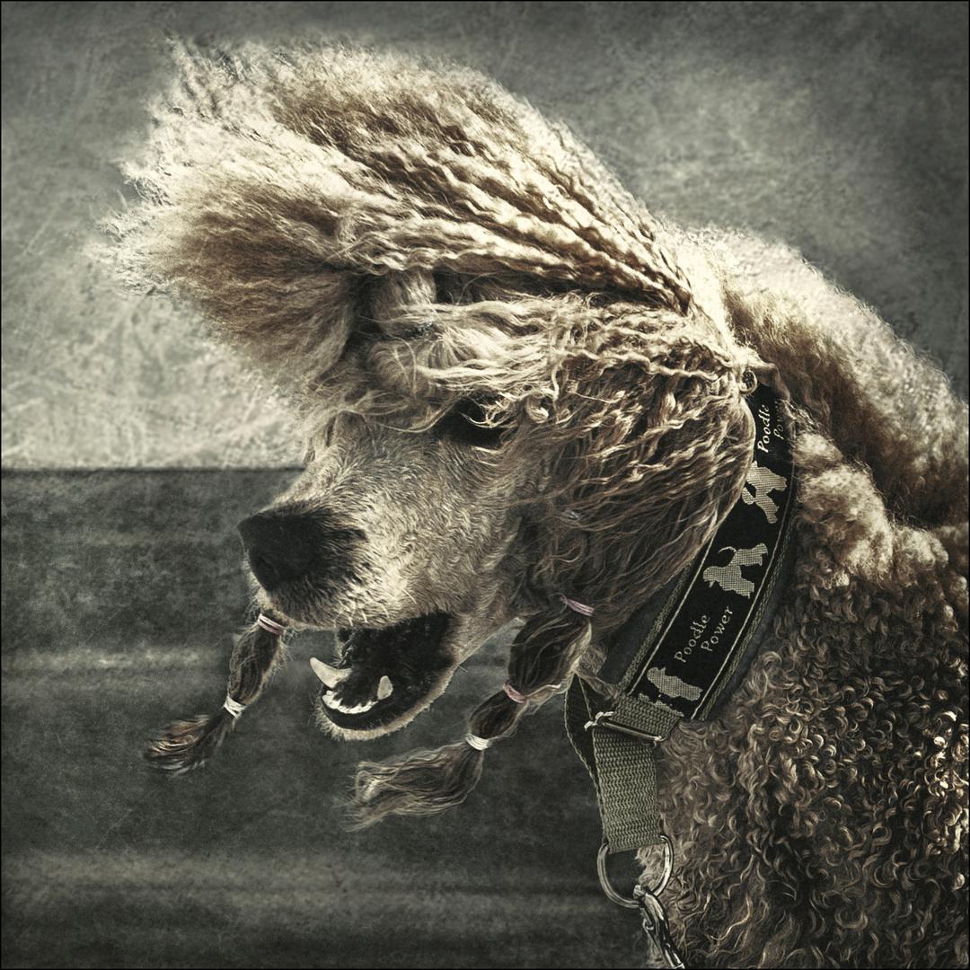 Poodle Power ....;-)