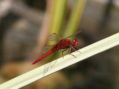 Poolgäste: Eine rote Libelle