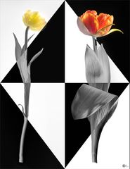 PopArt Tulpen