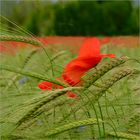 poppies and ears