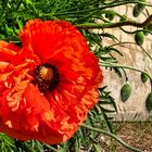 Poppies day