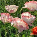 Poppies in the Contra Light