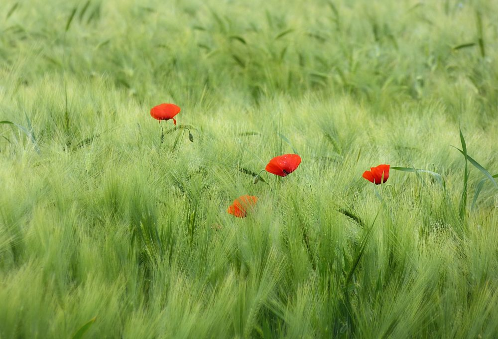Poppies of Normandy