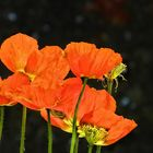 ... poppies of Normandy