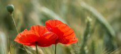 poppies_mini_panno