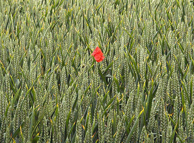 Poppy in the corn