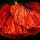 Poppy petals with raindrops 02