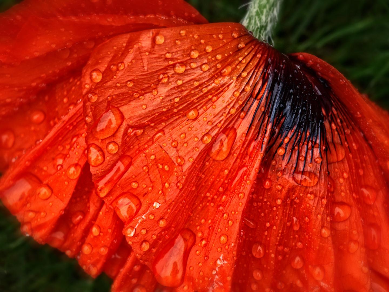 Poppy petals with raindrops