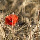 Poppy Seed flower