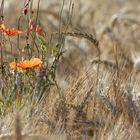 Poppy seed flower in backlight