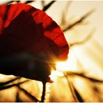 Poppy Sunrise