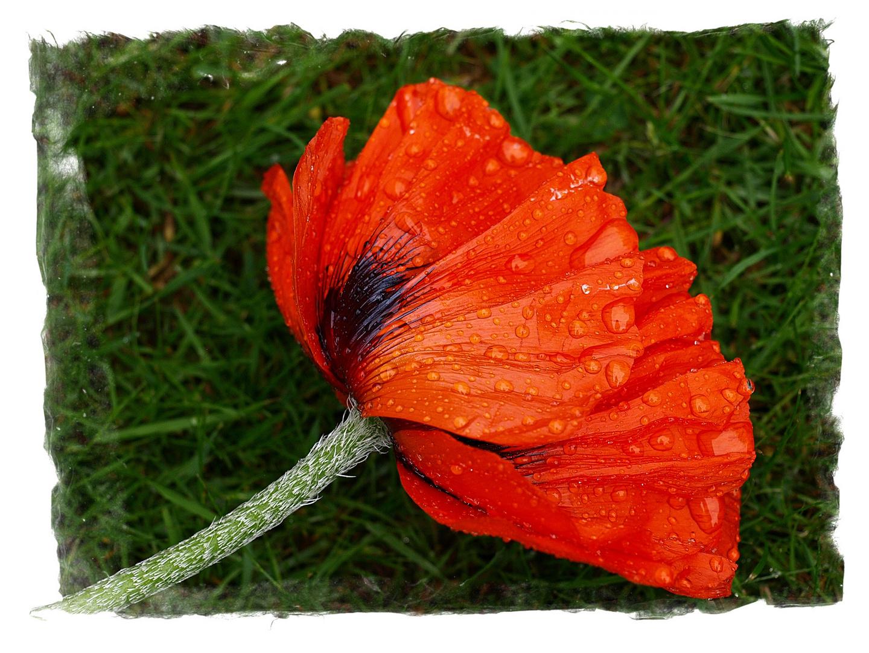 Poppy with raindrops