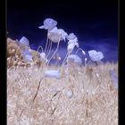 poppy.blue.seed.