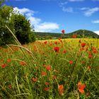 Poppyfield - Ein Moonblumenfeld