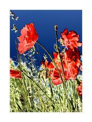 Poppy's in a field