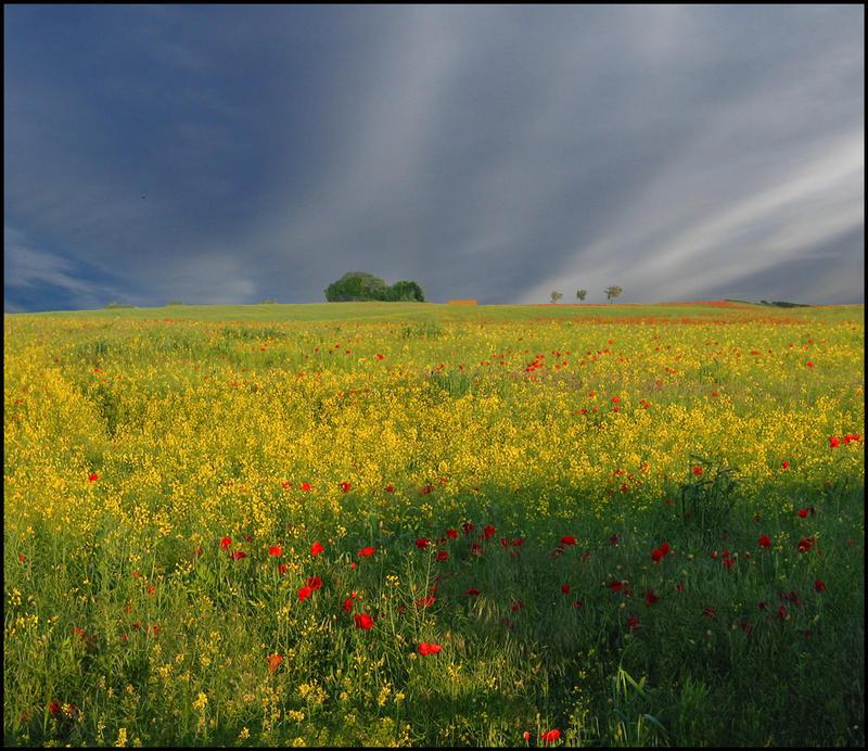 poppys in a rape field at Wark