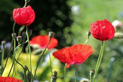 Poppytime - Summertime