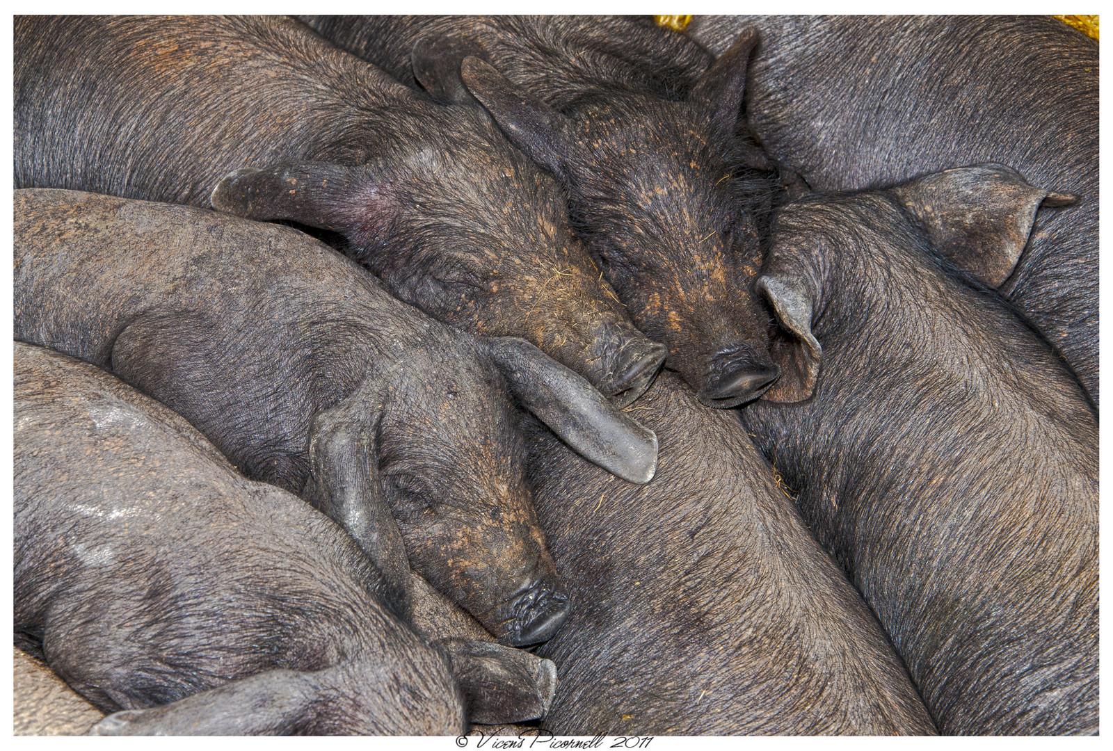 porcs negres- cerdos negros
