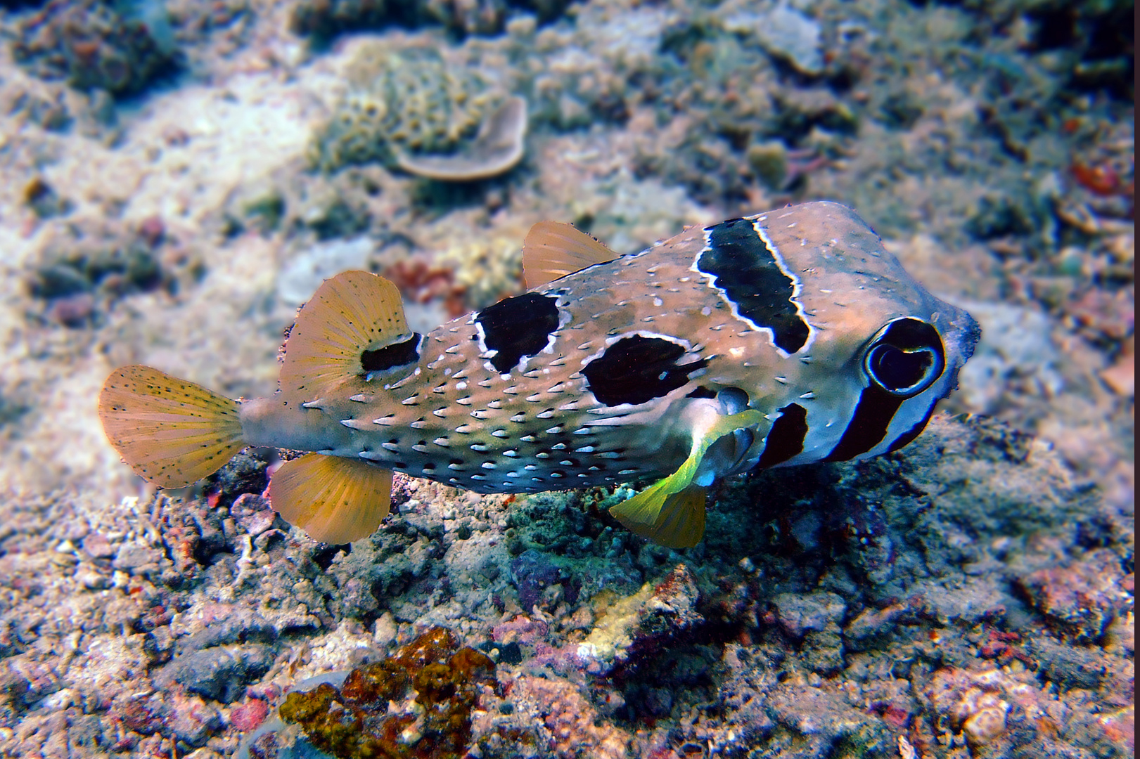 Porcupinefish in shallow water