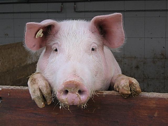 Porky 01