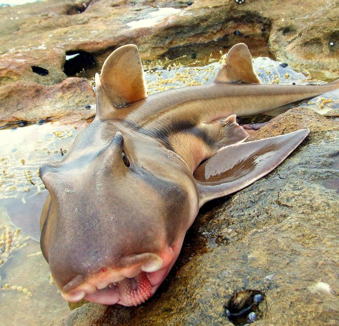 Port Jackson Shark am Greenpatch Beach
