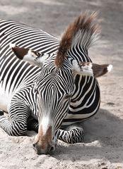Portait Zebra